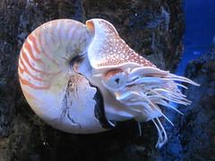 Chambered nautilus (Nautilus pompilius), Toba ...