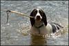 My stick (Simon Bone Photography) Tags: dog pet bigma bitch springer springerspaniel bella quarry k9 retrieve retrieving liverandwhite sigma50500mm carnmarth wwwthehidawaycouk canoneos7d