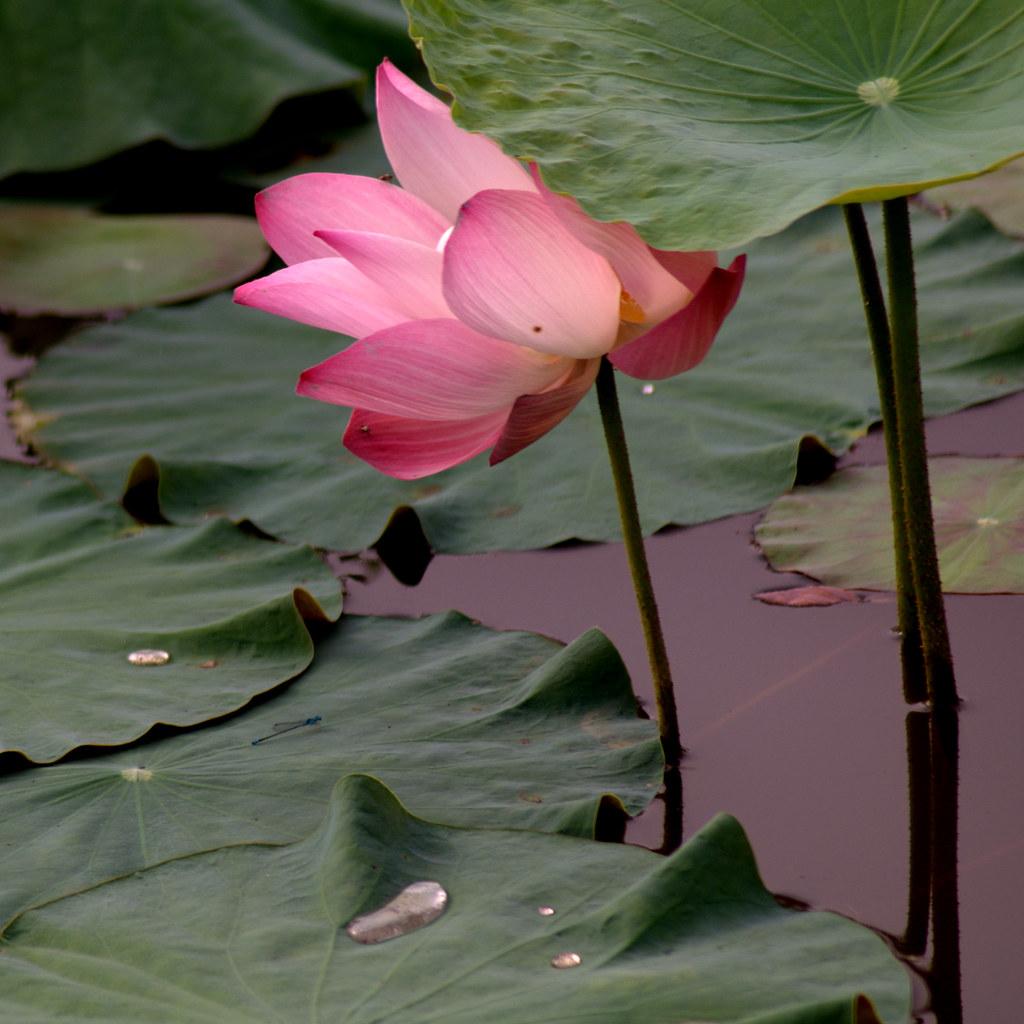 A shy lotus 害羞的莲花 ...
