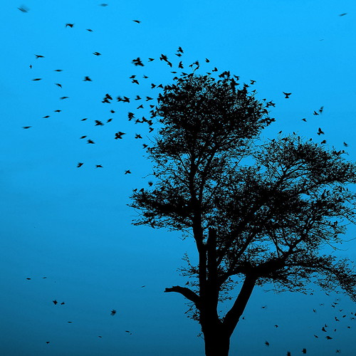 The dreaming tree (... Arjun) wood blue 15fav india black color colour tree bird colors birds silhouette 1025fav 510fav 35mm square iso100 fly flying wings wire asia colours song wing silhouettes 100v10f dreaming 2550fav squareformat bluehour title flapping incredible f8 davematthewsband dmb flap rajasthan 2010 jodhpur bluecity marwar 500x500 canonef24105mmf4lis bluelist blueonblack thedreamingtree  canoneos5dmarkii canon5dmarkii gettyvacation2010