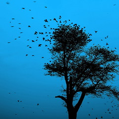 The dreaming tree (... Arjun) Tags: wood blue 15fav india black color colour tree bird colors birds silhouette 1025fav 510fav 35mm square iso100 fly flying wings wire asia colours song wing silhouettes 100v10f dreaming 2550fav squareformat bluehour title flapping incredible f8 davematthewsband dmb flap rajasthan 2010 jodhpur bluecity marwar 500x500 canonef24105mmf4lis bluelist blueonblack thedreamingtree  canoneos5dmarkii canon5dmarkii gettyvacation2010