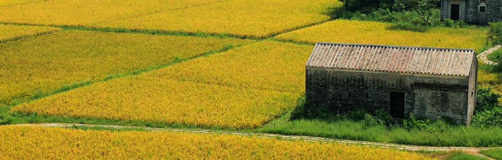 盛夏開平 - 擁抱金黃色的陽光