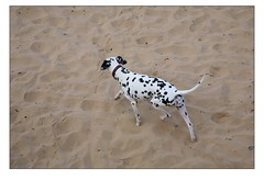 Dogs at Watergate Bay 7 (Mark-Crossfield) Tags: pictures uk greatbritain sea england dog pet pets beach dogs walking coast photo sand watergatebay cornwall waves image photos sandy picture wave images beaches dalmatian watergate walkies sandybeach 1010 bigwave doglovers photosof picturesof nearnewquay dalmatiandog dogsonbeaches imagesof watergatebayhotel markcrossfield