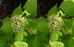 Hydrangea (voxel123) Tags: flowers flower floral leaves garden photography leaf petals stereoscopic stereogram stereophotography 3d crosseye crosseyed flora petal stereo photograph imaging hydrangea stereopair chacha stereography stereoscopy stereographic freeview stereophotograph stereograms crossview chachamethod xeye stereoscopicimaging