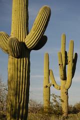 tucson-saguaro-cactus