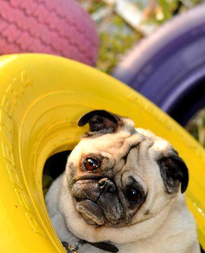Pug tires