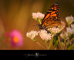 Monarch's Throne (Loren Zemlicka) Tags: flowers orange usa nature wisconsin america butterfly insect photography photo dof purple image picture depthoffield madison monarch northamerica wildflowers cherokeemarsh canoneos5d danecounty hbw canonef70200mmf4lisusm happybokehwednesday portalwisconsinorgselected lorenzemlicka portalwisconsinorg090110