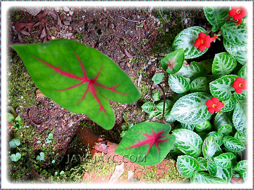 Resurrected Caladium bicolor (cultivar unknown) in our tropical garden, August 2010