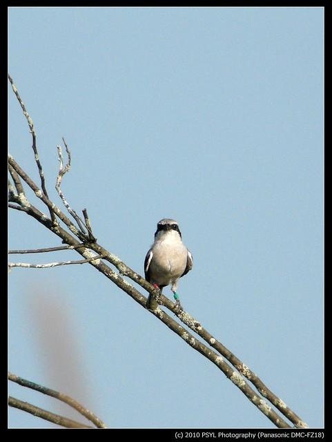 Eastern Loggerhead Shrike (Lanius ludovicianus migrans)