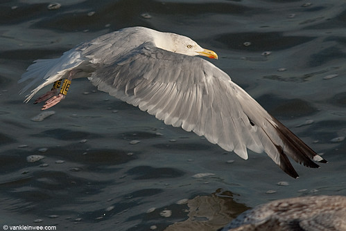 European Herring Gull, adult, Y[E096]Y[E]