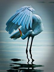 Dancing Egret (minds-eye) Tags: egret guana gtmnerr egretfloridabird