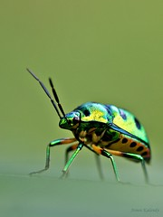 Golden Bug (aroon_kalandy) Tags: light india nature beauty bug golden shiny artistic sony awesome kerala impressions concept lovely dots naturelovers calicut  kozhikode  beautifulshot anawesomeshot sonydslra200 malayalikkoottam aroonkalandy tamronspaf90mmf28dimacrolens