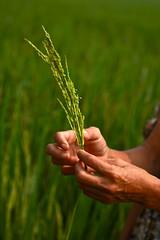 Promising harvest  SRI