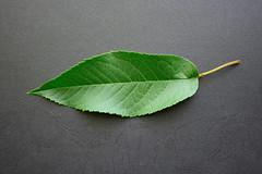 Cerezo Prunus avium - Hoja Cara