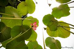Lotus for peace (Lohb) Tags: peace lotus buddha buddhist malaysia puchong sausenglum lotusforpeace
