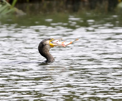 cormorant with fish (Plucky Filly) Tags: fish water hide meal cormorant cormfish