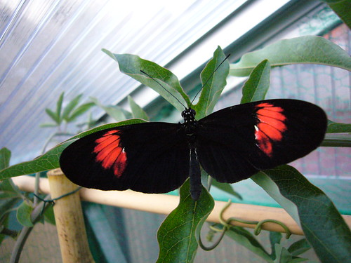 Different Best Heliconius Melpomene Subspecies Pictures, Best Heliconius Melpomene Pictures