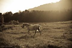 Horses_203_20100907.jpg (T. Scott Carlisle) Tags: horses horse white farm tsc 85mmf14d 50mmf12 lightroom3 tphotographiccom tscottcarlisle ellecummans heahtercummans tscottcarlislecom