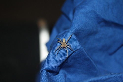 Spider on Blue