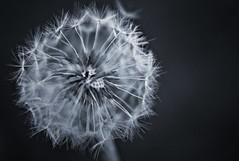 Day 250: Blow me (tjdewey) Tags: flowers bw macro closeup weeds gimp seeds dandelions 50mmf14 project365 sonyalphaa100