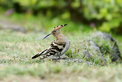 (Fu-yi) Tags: bird wildlife sony taiwan  hoopoe  mywinners   phoeniculidae photographyforrecreation