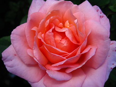 (xwelhamite) Tags: rose rosaceae closeuprose