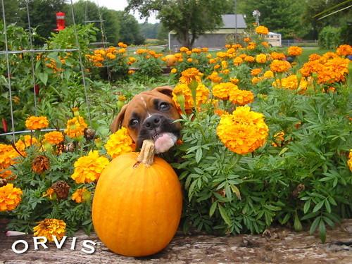 Orvis Cover Dog Contest - rosie