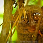 Bohol Tarsier Sanctuary: My Search for Tarsiers in Bohol