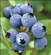 Alapaha blueberries