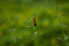 At times you got to take risk. (<$ Jaggy $>) Tags: red india lake jason green grass canon bug insect weed chennai tamilnadu chengalpet paranur canon1000d jasanpictures
