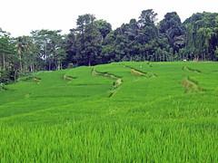 Rice paddy green (LeelooDallas) Tags: bali landscape asia rice paddy dana jungle tropical iwachow