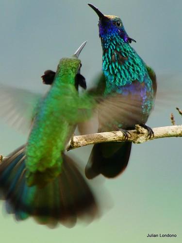 Colibri thalassinus vs Colibri coruscans