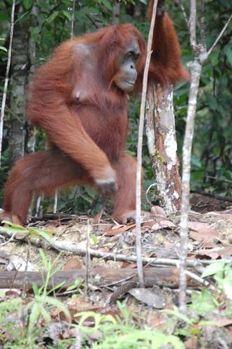 Orangutan @Semengoh Reserve