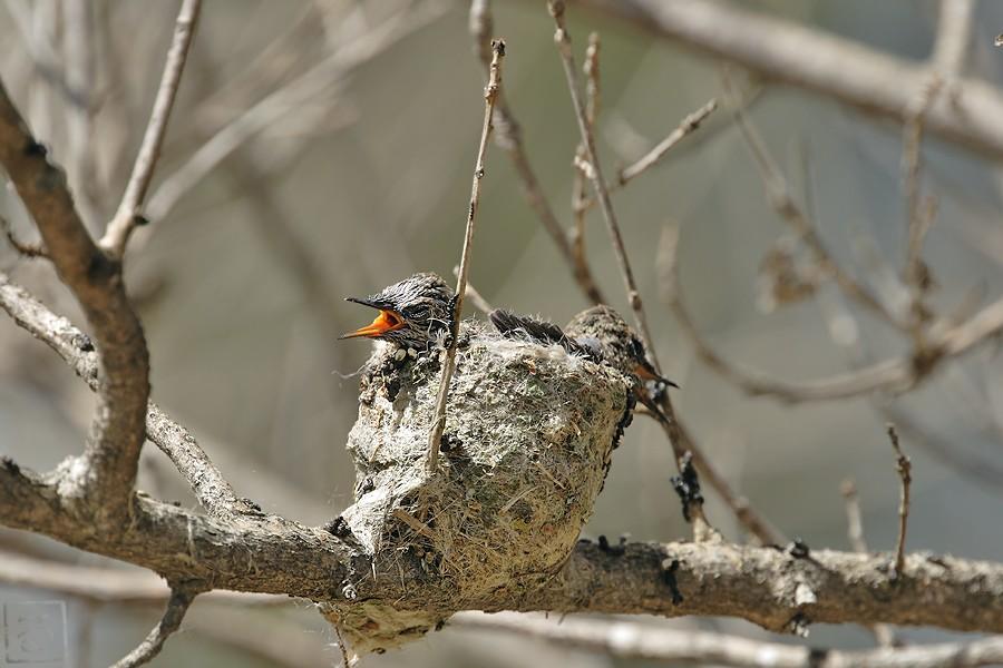 Anna's Hummingbird nest 0315101