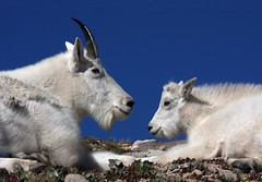 Mountain Goats (Ron Wolf) Tags: nature mammal wildlife alpine rockymountains bovidae mountaingoat mountevans subalpine artiodactyla rockymountaingoat oreamnosamericanus arapahonationalforest coloradowildlife