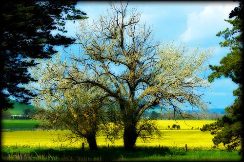 Australian Canola Field