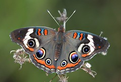 Common Buckeye (DrPhotoMoto) Tags: butterfly northcarolina commonbuckeye richmondcounty junoniacoenia specanimal superaplus aplusphoto