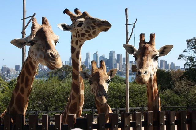 Giraffes at the Traonga Zoo