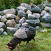 """Don't even think about it!"" Chipmunk defends his stash from a marauding turkey. Photo: Edward Murphy, Vermontville NY."