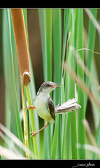 Prinia simple (Prinia inornata, en. Plain Prinia, or the Plain, or White-browed, Wren-Warbler), Lat Krabang, Bangkok (Yannick Willener) Tags: thailand bangkok priniainornata plainprinia latkrabang priniasimple