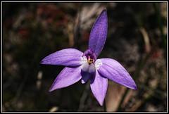 Waxlip Orchid (Colpics for my latest images go to Ipernity) Tags: australia victoria brisbanerangesnationalpark anakie digitalcameraclub sigma50mmf28dgmacro waxliporchid canoneos5dmkii