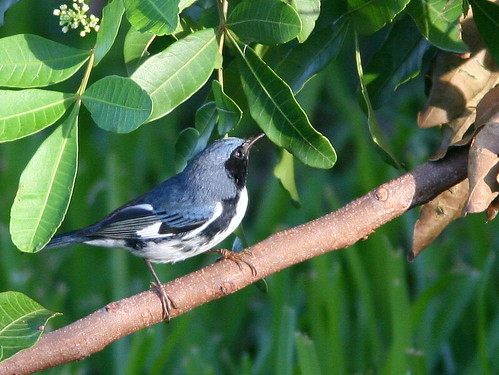 Black-throated Blue Warbler 20100926