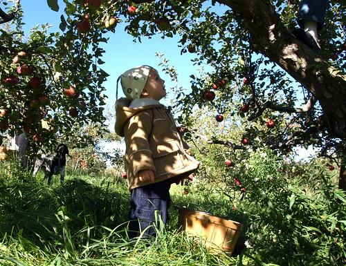 Apples10 007