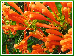 Pyrostegia venusta (Flame Vine, Flaming Trumpet, Orange Trumpet Creeper, Golden Shower)