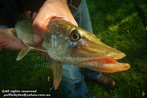 Northern Pike - Esox lucius