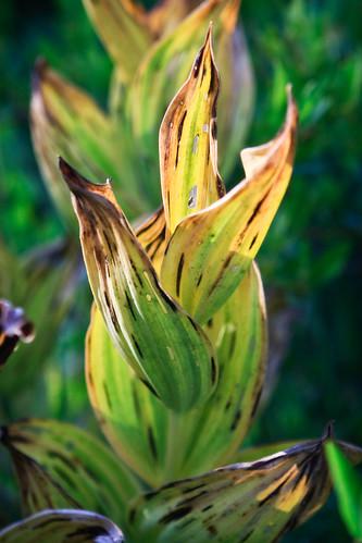 Fiery Plant