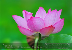 Beautiful Lotus Flower - Kenilworth Aquatic Gardens (SP) Tags: pink flowers wild usa flower green nature gardens garden landscape outdoors washingtondc dc washington districtofcolumbia lotus blossom images watergarden waterlilies sp bloom hassan aquatic kenilworth anacostia pinkflowers stockphotography waterplant lotusflower lotusflowers