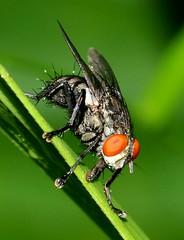 Fly @ Kota Damansara (Dato' Professor Dr. Jamaludin Mohaiadin) Tags: macro forest insect lens 50mm photo nikon malaysia reverse prof kota damansara dato serangga d90 jamaludin mohaiadin