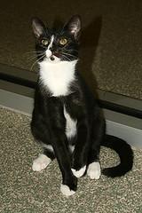 X15473 Arden (joekerstef) Tags: cats cat kitten kitty kittens kitties arden warl washingtonanimalrescueleague