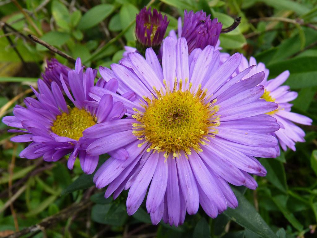 Aster Fleur Vivace Vap Vap